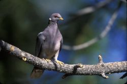 WO2474 Band-tailed Pigeon Photo