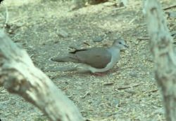 White Fronted Doves Photo