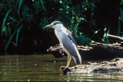 Black-crowed Night-Heron Photo