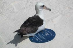 Laysan Albatross resting on the refuge time capsule Photo