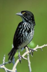 Dusky Seaside Sparrow Photo