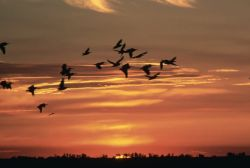WO2757 White Pelicans and Evening Sun Photo
