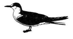 Sooty Tern Photo