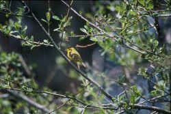 Wilson's Warbler Photo