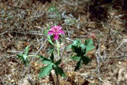 Wild Geranium Photo