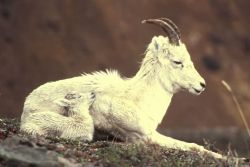 Dall Sheep/ Lamb Photo