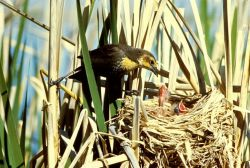 Yellow-headed Blackbird feeding young Photo