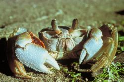 Ghost Crab Photo