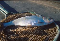 Shad In Net Photo