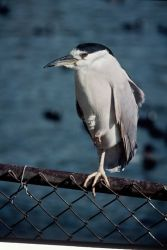 Black Crowned Night Heron Photo
