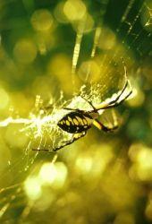 Garden Spider Photo