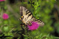 Swallowtail Butterfly & Bee on thistle Photo