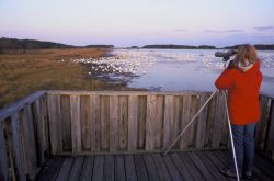 Birdwatcher and Snow Geese Photo
