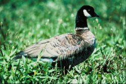 Aleutian Goose Photo