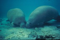 Manatee Rooting in Sand Photo