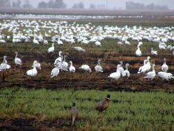r8-ca-swr-birds in burned field Photo