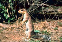 African ground squirrel Photo