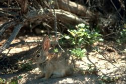 Desert Cottontail Photo