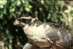 Northern Goshawk Adult Male Photo