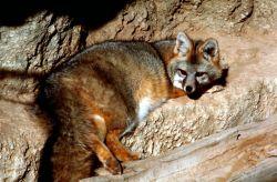 Gray Fox, New Mexico Photo