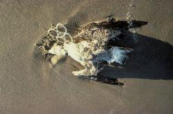 Gull Death Due to Plastic Debris Entanglement Photo
