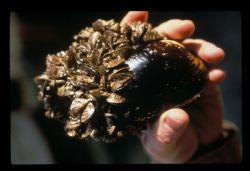 Zebra Mussel on Native Mussel Photo