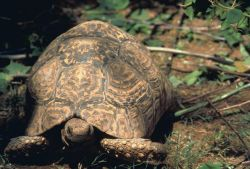 Leopard tortoise Photo