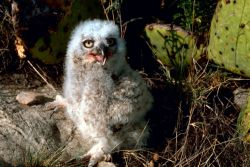 Great Horned Owl Chick Photo