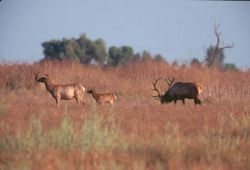 Tule Elk bull , cow and calf Photo