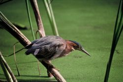 Green-backed Heron Photo