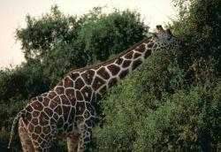 Reticulated giraffe Photo