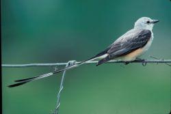 Scissor tailed flycatcher Photo