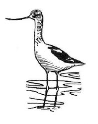 avocet Photo