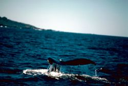 Humpback Whale Mexico Photo