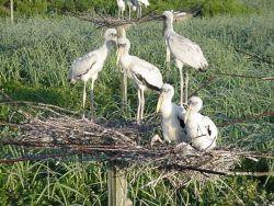 Wood storks on nest Photo