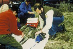Gray Wolf Health Examination Photo