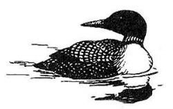 common loon Photo