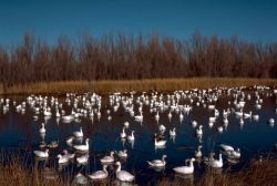 Snow Geese Bosque Del Apache NWR Photo