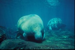 Florida Manatee Photo