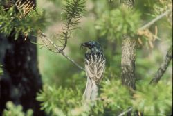Kirtland's Warbler Photo