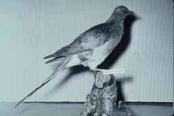 Passenger Pigeon Photo