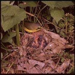 Kentucky warbler Photo