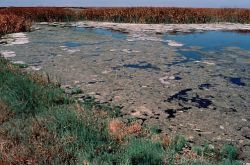 Algae Accumulation, Kesterson National Wildlife Refuge Photo