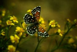 Lange's Metalmark Butterfly Photo