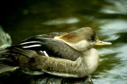 Hooded Merganser Hen Photo