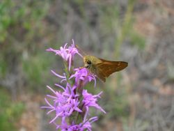 Pawnee Montane Skipper Photo