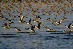 Pintails Photo