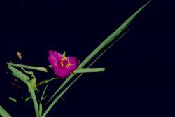 Spiderwort Photo
