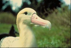 Short-tailed Albatross Photo