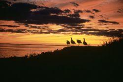 WO3711 Gulls At Sunset Photo